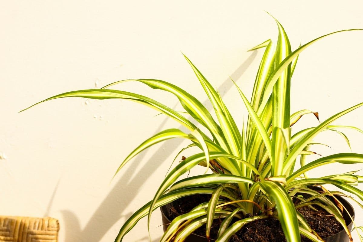 spider plant in a pot beside the white wall indoors