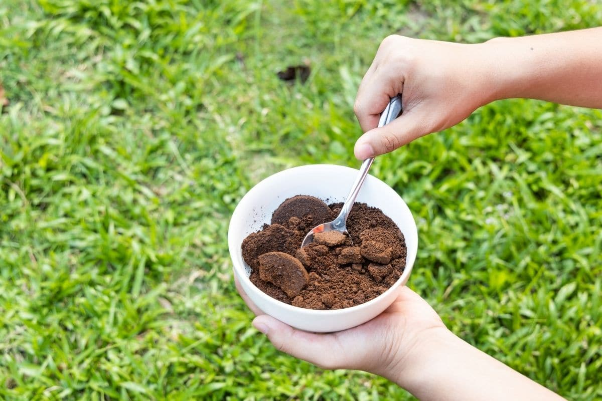 holding a cup of coffee ground to fertilize or amend the soil in the garden