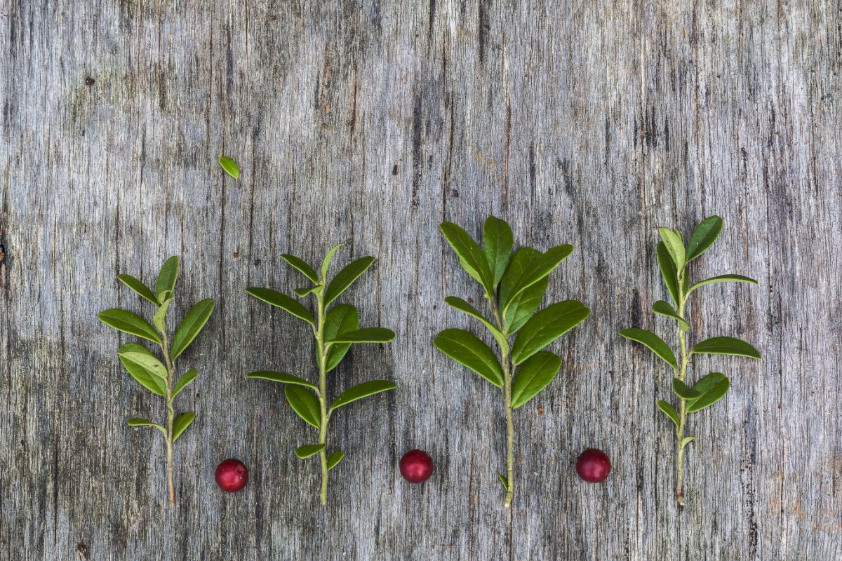 cranberry cuttings and fresh harvested cranberry lying in wood in the garden