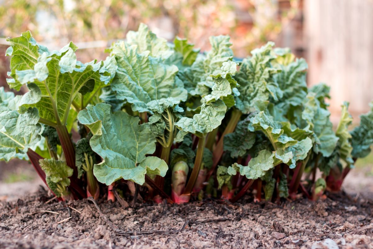 young rhubarb plants growing in the garden