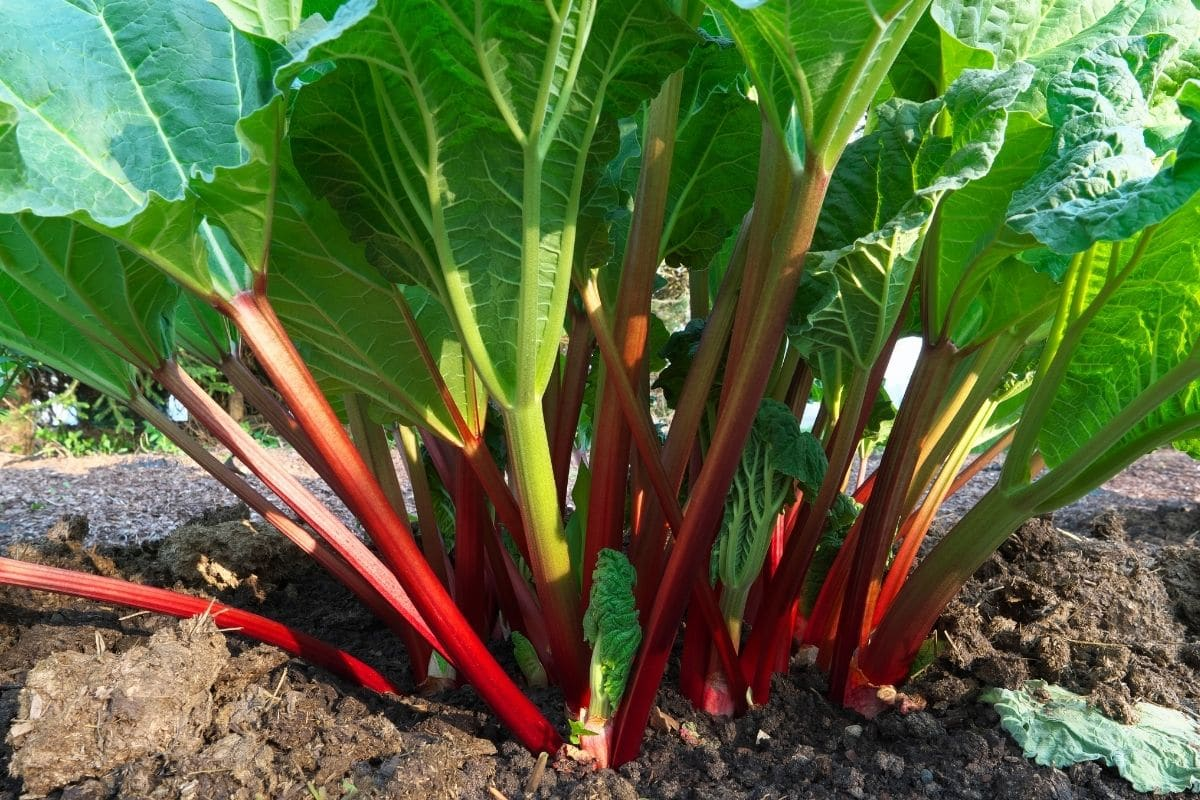 a rhubarb plant growing in the garden
