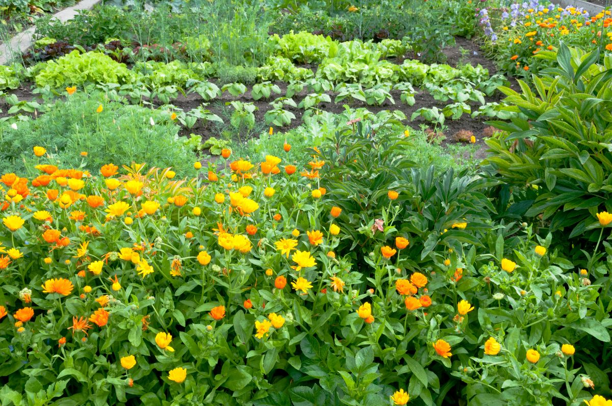 marigolds flowers growing in the vegetables along with the green leafy vegetables
