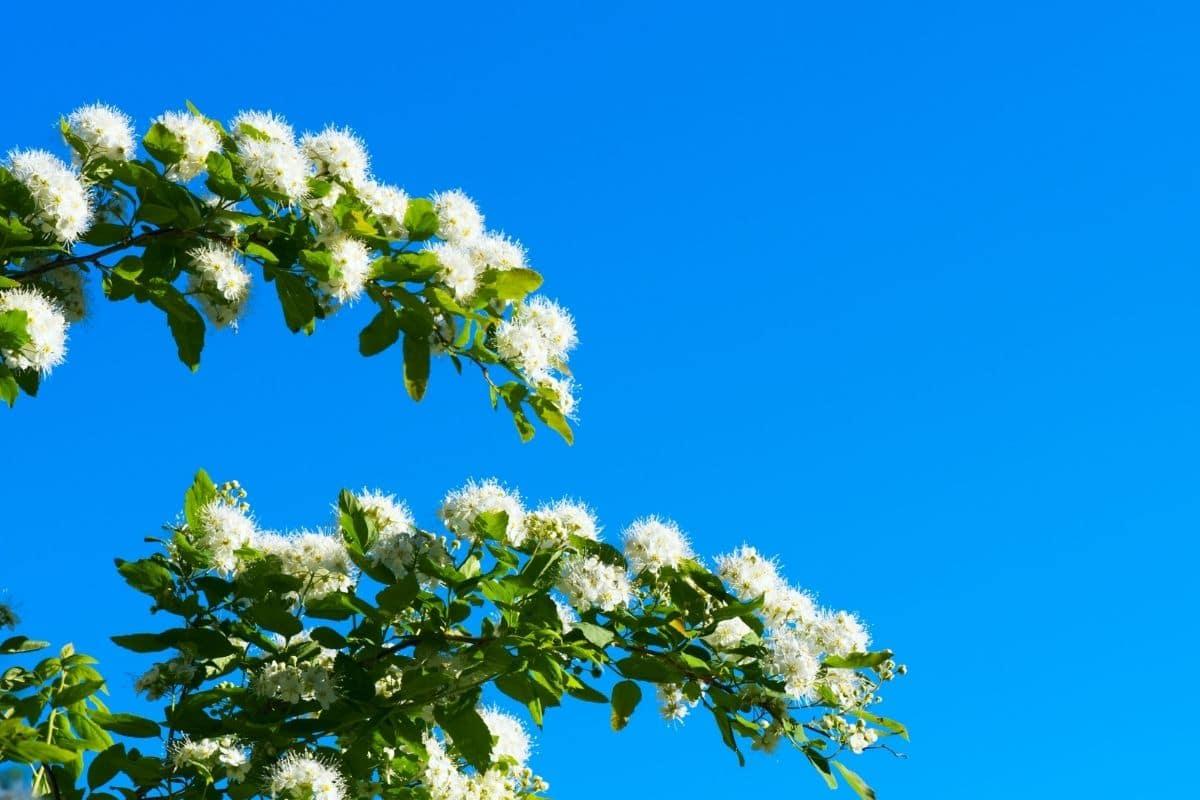 Magic carpet flower against the blue sky
