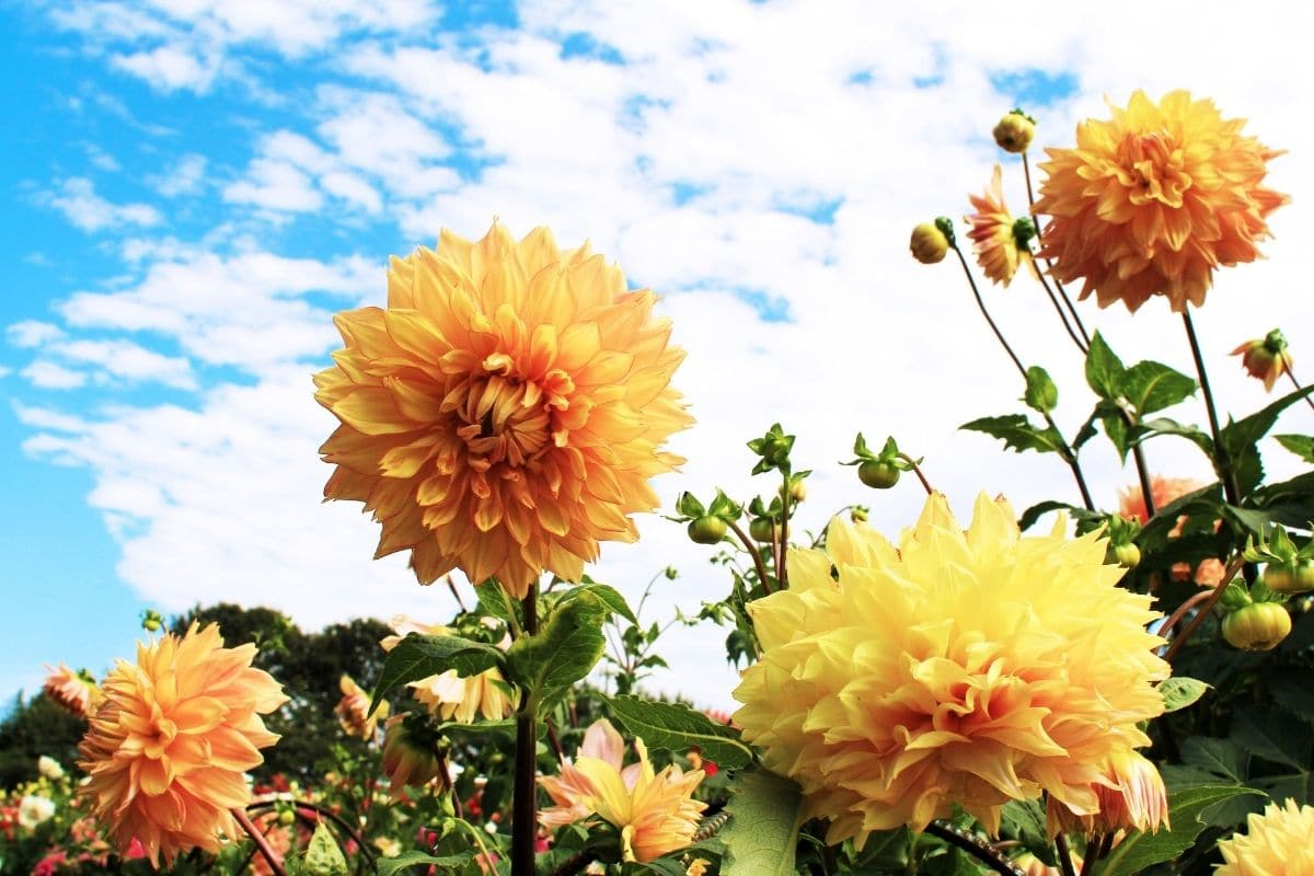 yellow dahlias in a blue sky in the field