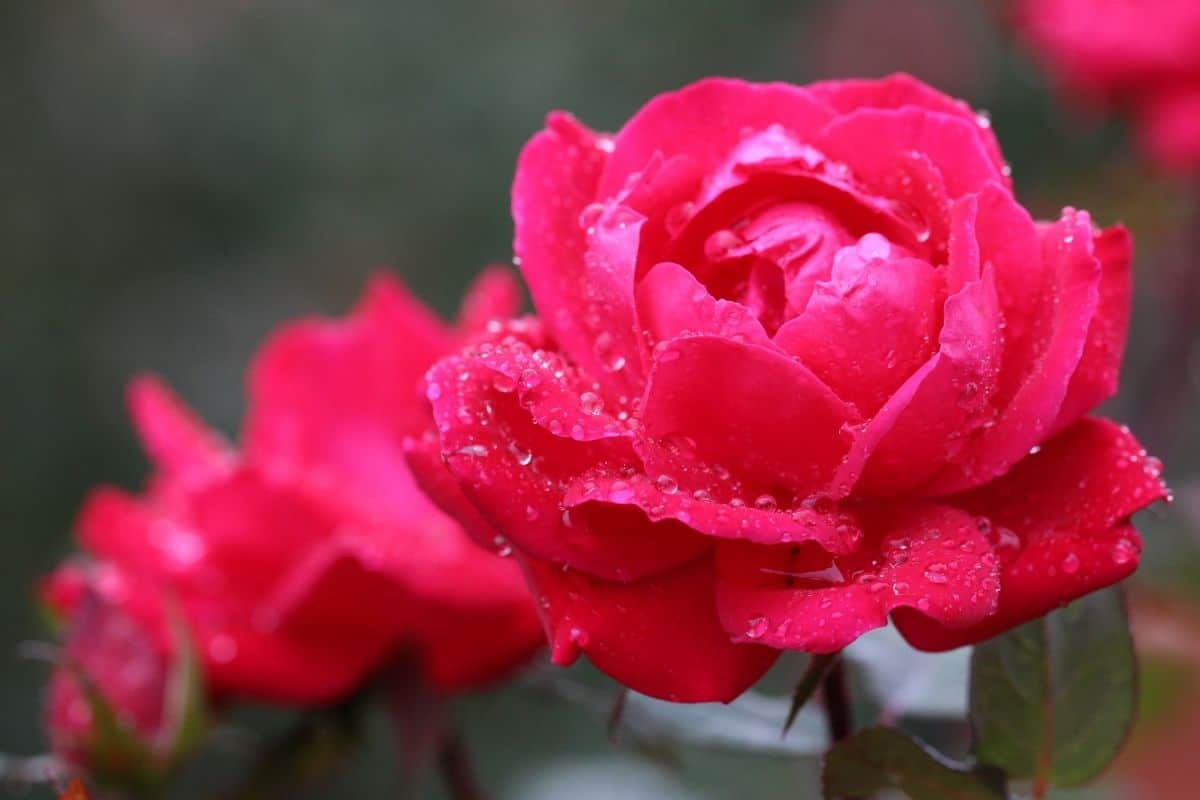 knock out roses in the garden with raindrops