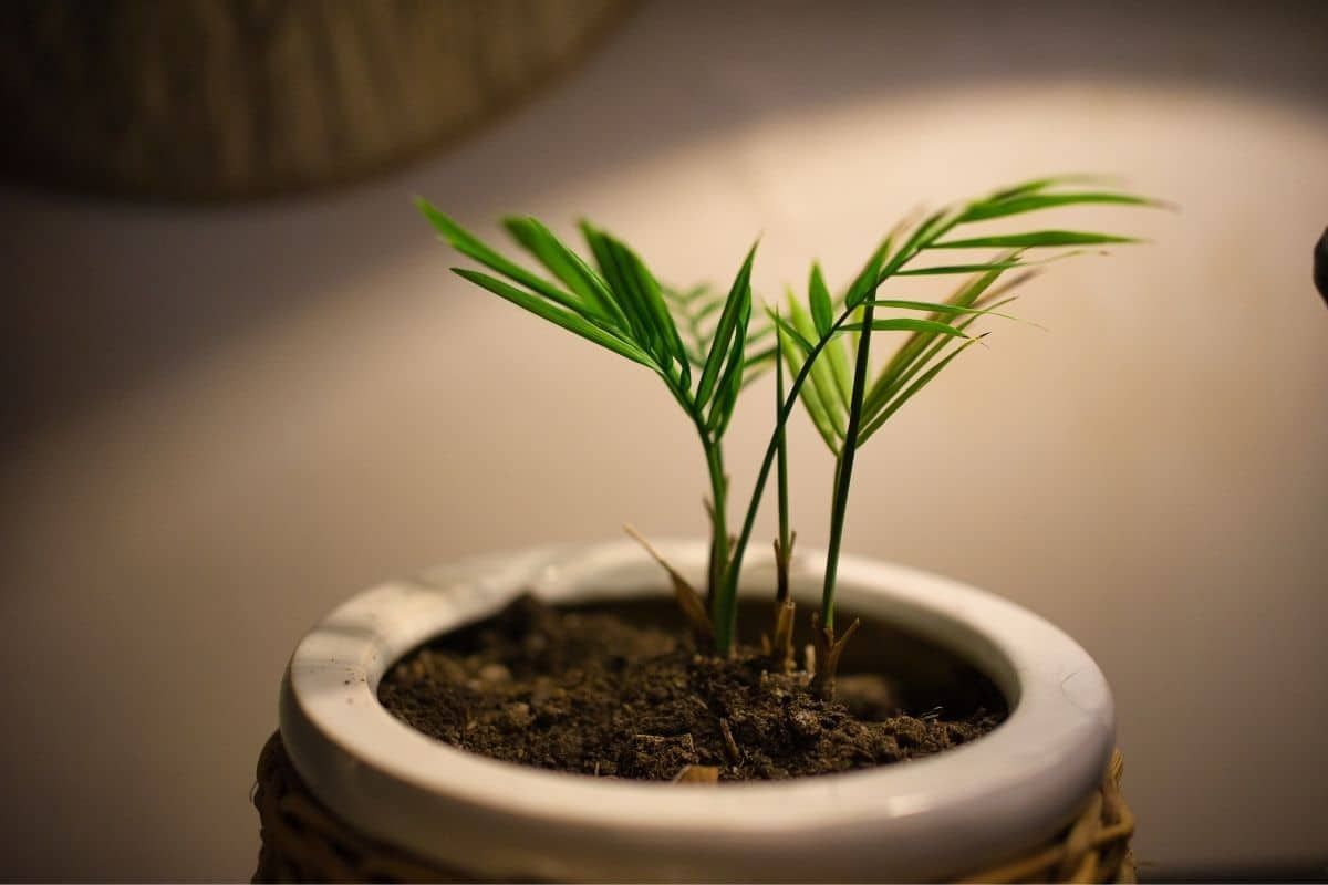Small areca palm tree in a pot indoors