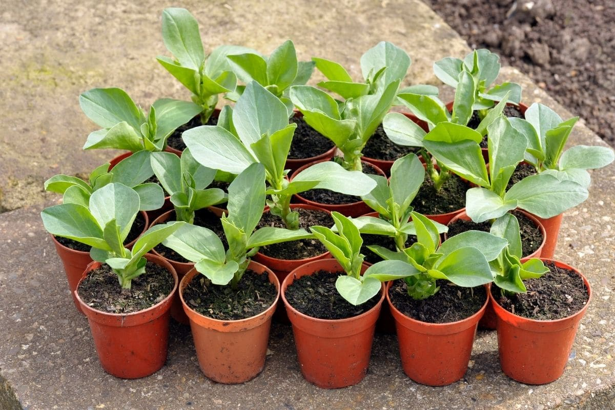 broad beans seedlings in a pot for transplanting in the vegetable garden