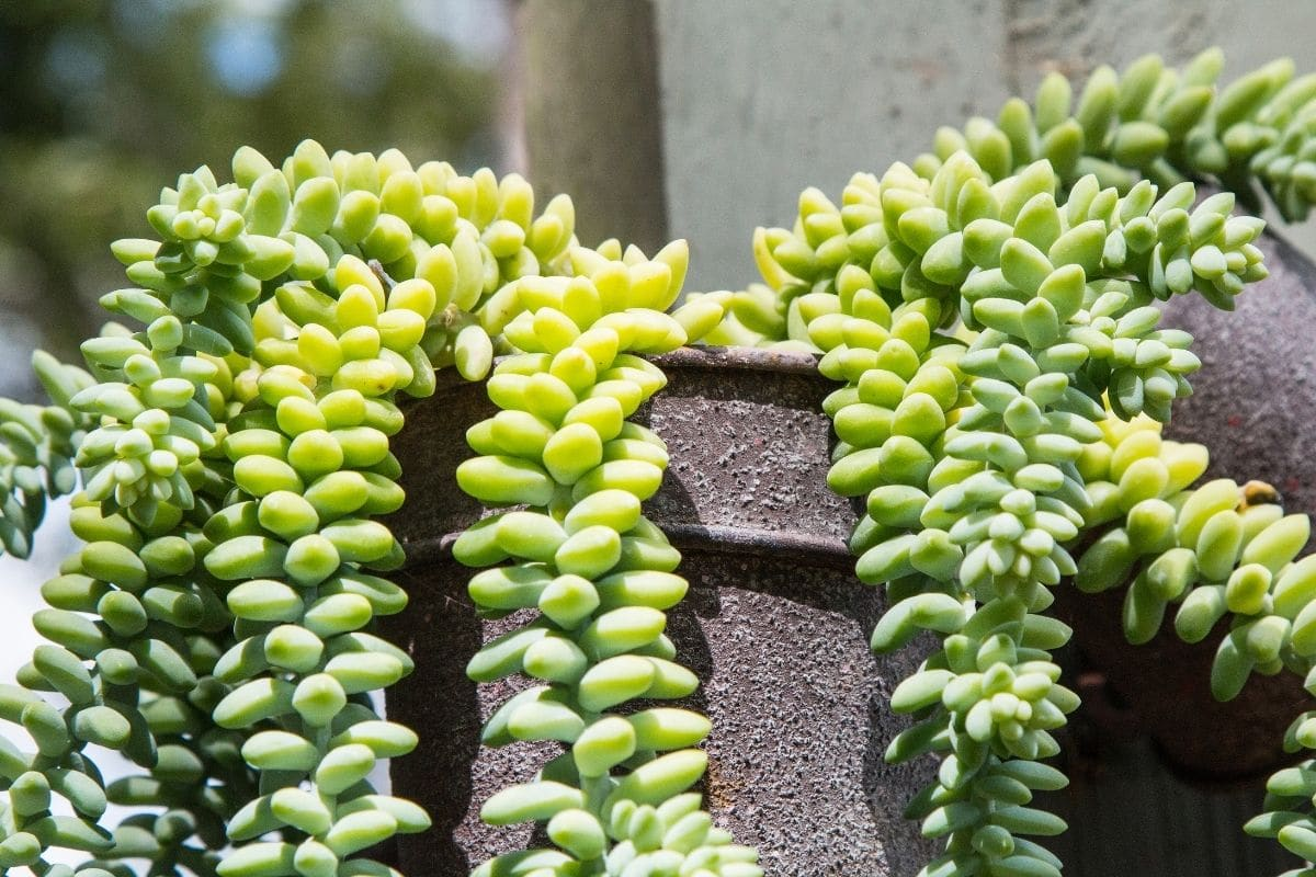 Burros tail or also known as donkey tail, in a hanging pot in the garden