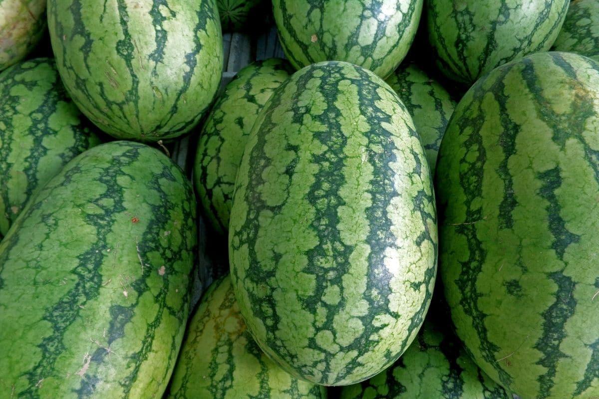 long and oblong shape watermelon variety named georgia rattlesnake watermelon