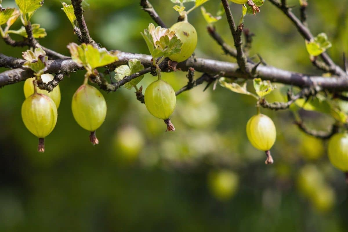 green gooseberries hanging from its branch in the garden