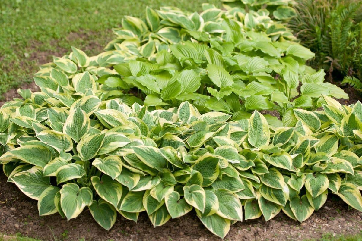 Hostas bush in the garden