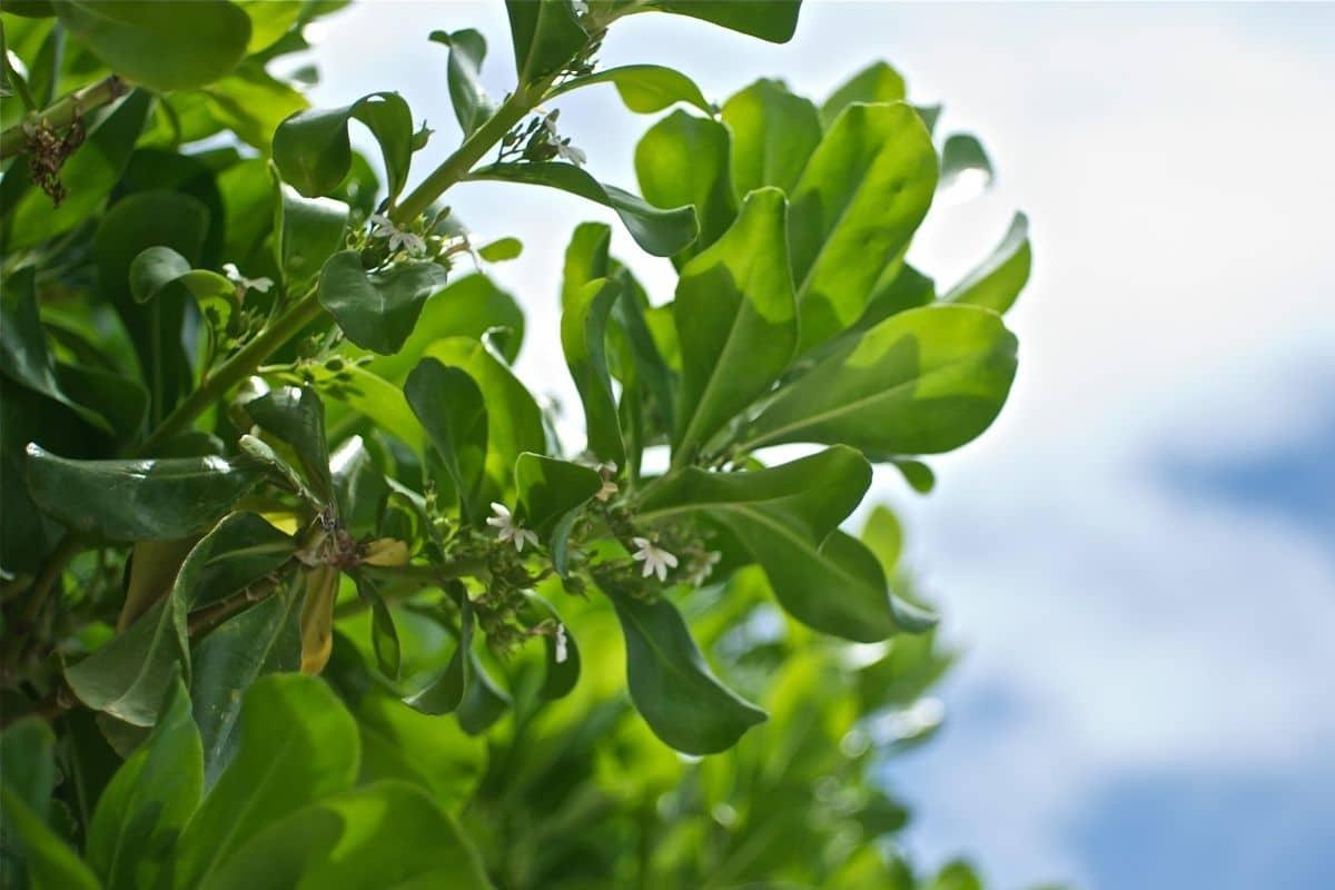 inkberry holly evergreen shrug against the sky in the garden