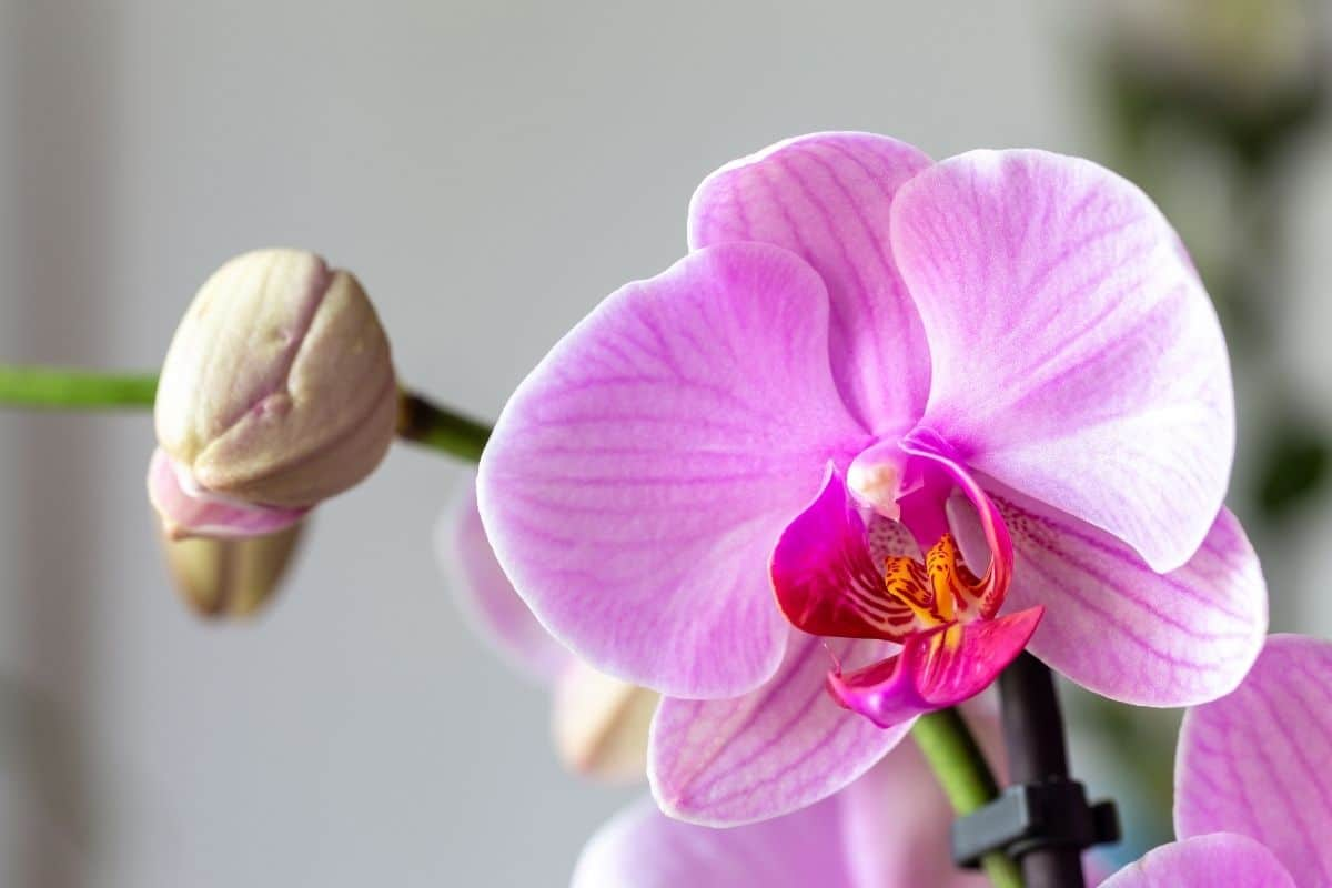 pink orchids indoors, orchid houseplant