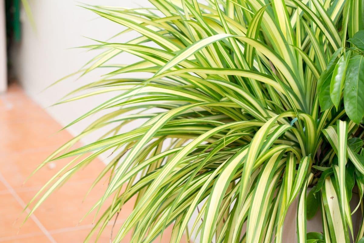 Spider plant indoors