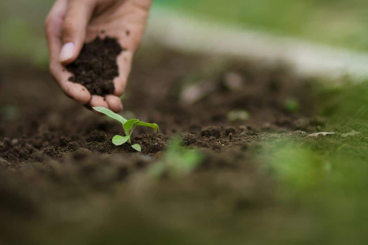 adding soil to the freshly planted seedling in the garden