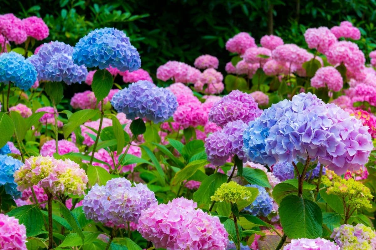 field of blue and pink hydrangeas blooming during summer