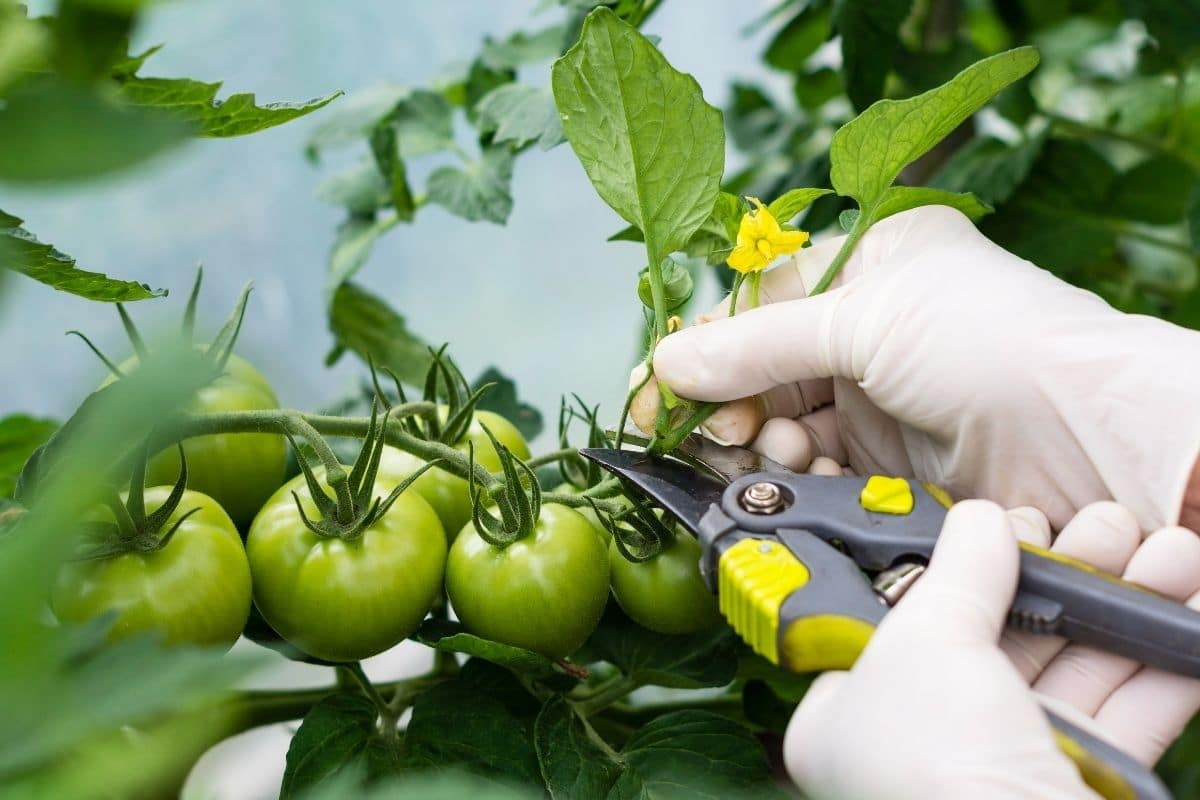 pruning leaves of tomato plant with growing green tomato fruit