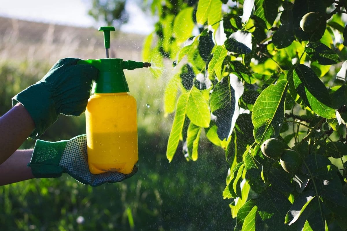 spraying pesticides to the plants