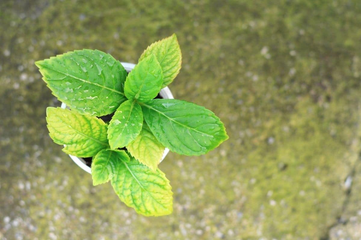propagated hydrangea in a container