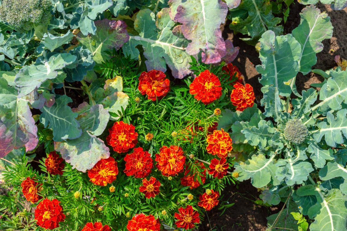 beautiful marigolds blooming beside the growing lettuce in the vegetable garden