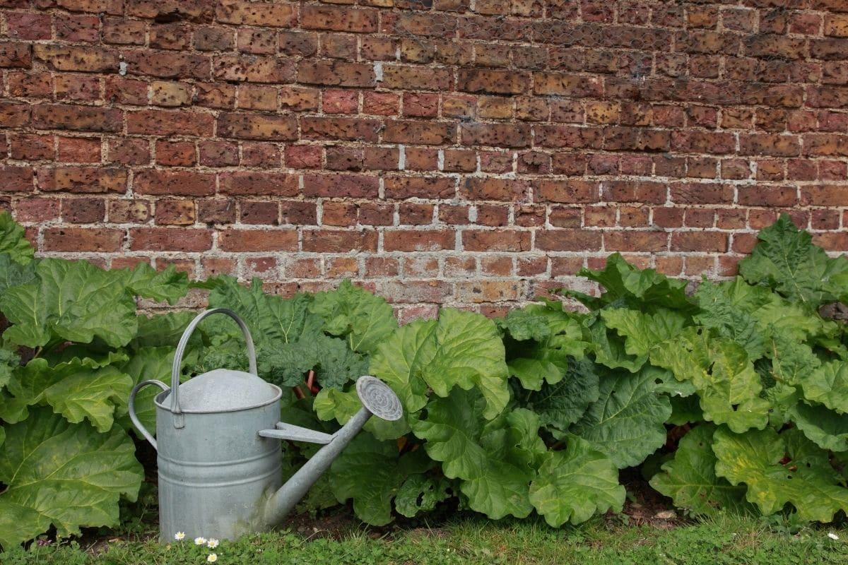growing rhubarb plant beside the brick wall