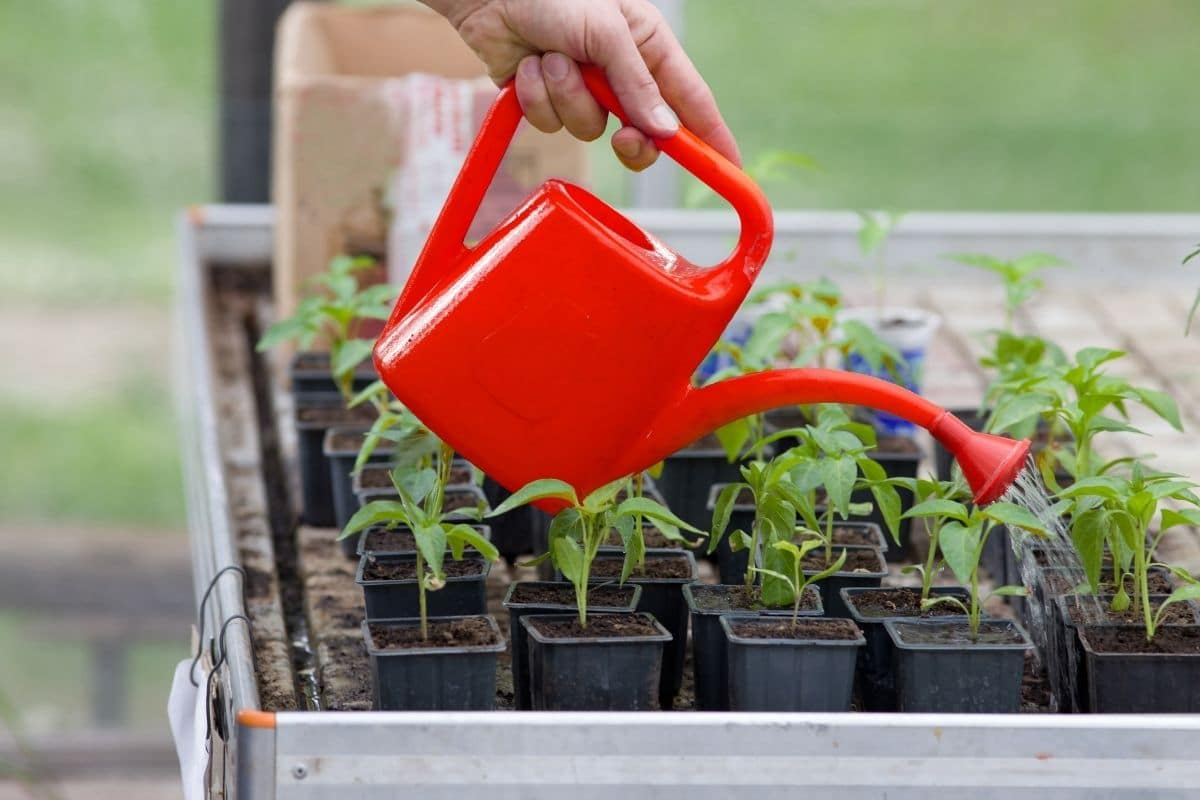 watering the seedlings in pots with red watering pot outdoors