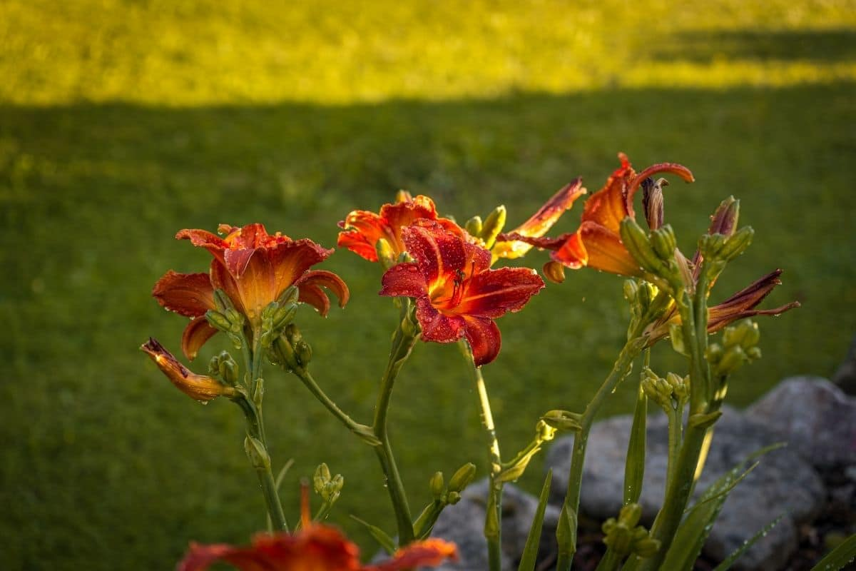 daylilies with raindrops in a shady part of the garden lawn
