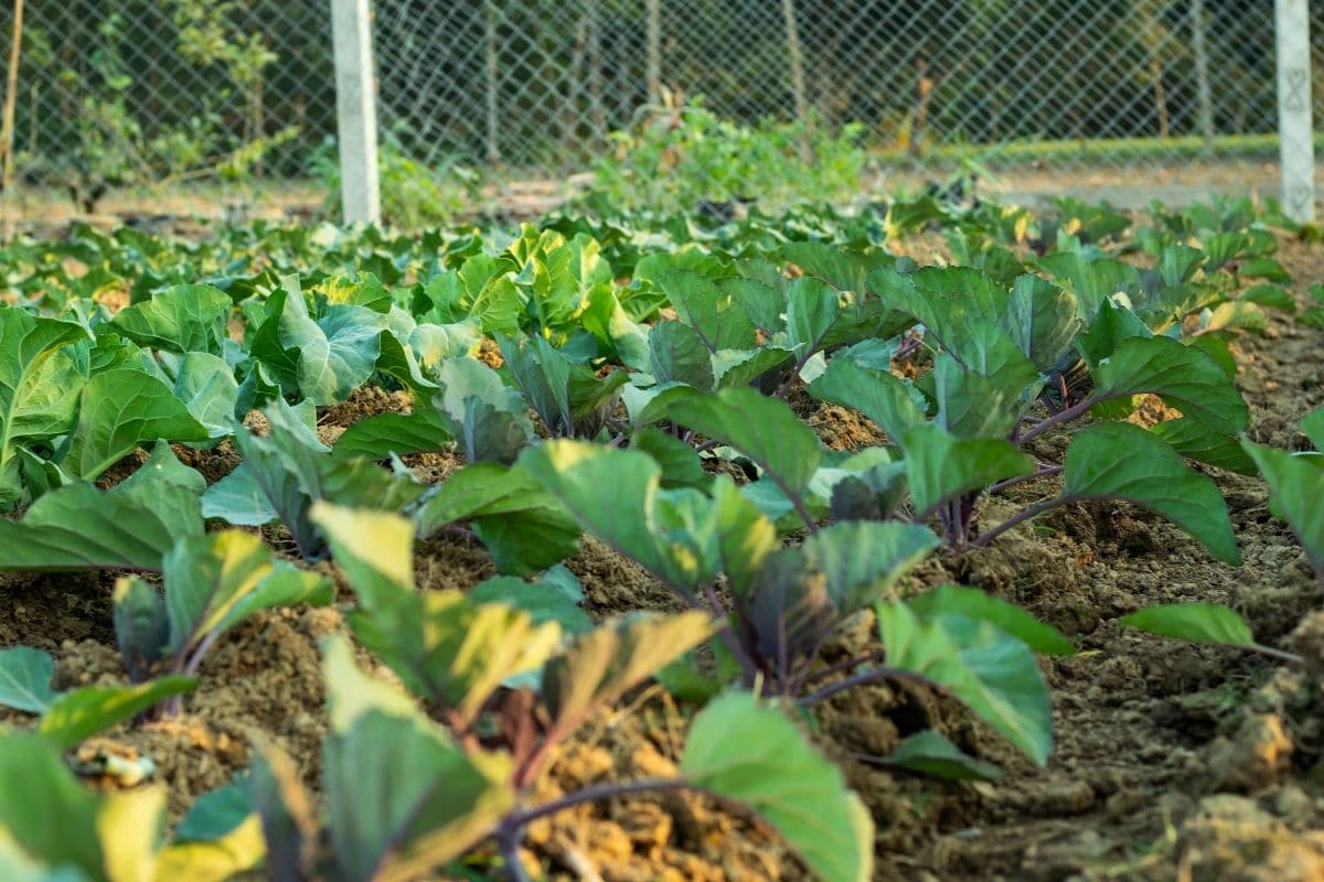 cauliflower plants in the garden