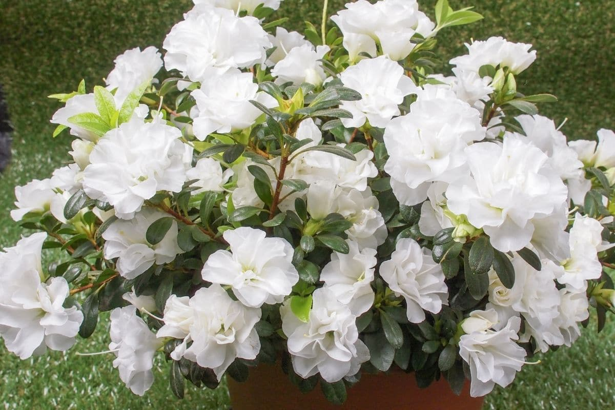 Azaleas in a pot blooming with white flowers