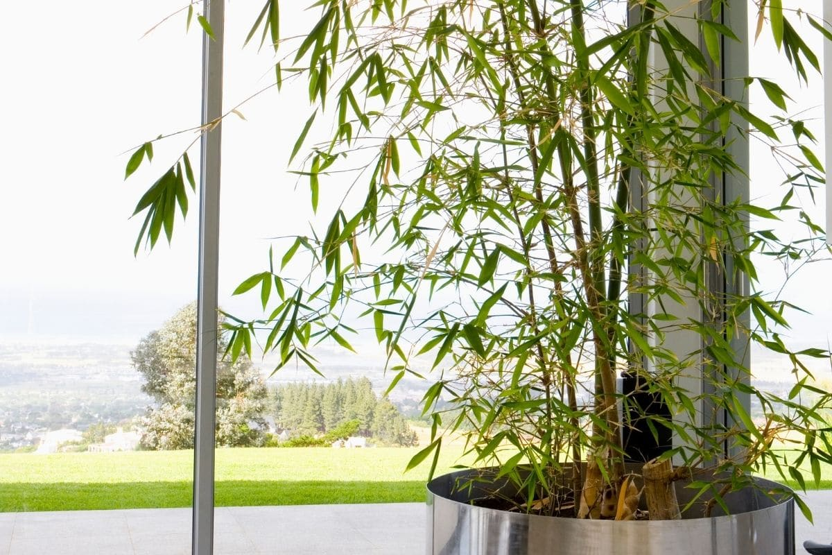bamboo tree in a stainless pot indoors by the window