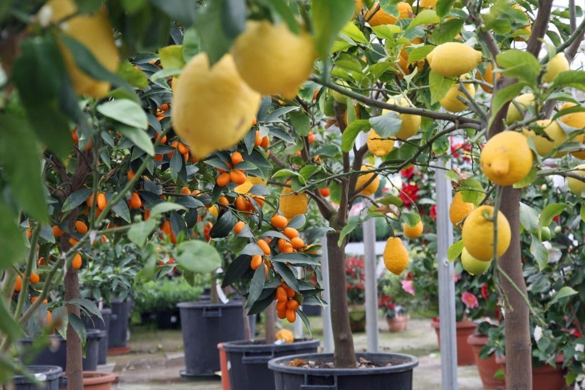 punoan sa lemon nga adunay hinog nga mga prutas nga nagtubo sa daghang balde sa tanaman
