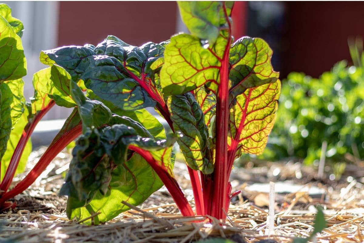 young rhubarb plant with soil covered in mulch from straws