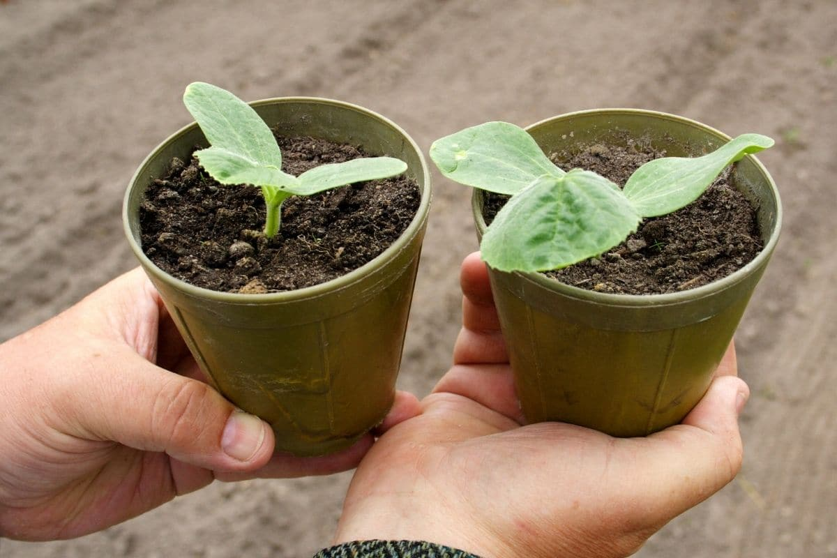 seedlings in a biodegradable pots ready for transplanting