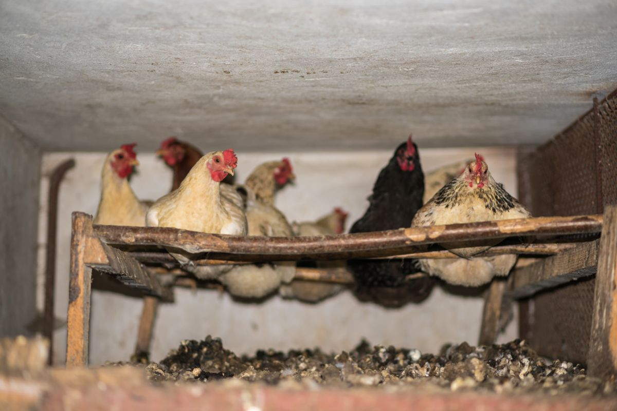 chicken in the chicken house with their poop below them
