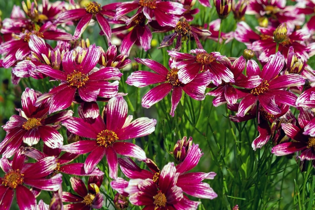 Pink and white colored coreopsis field blooming under the sun