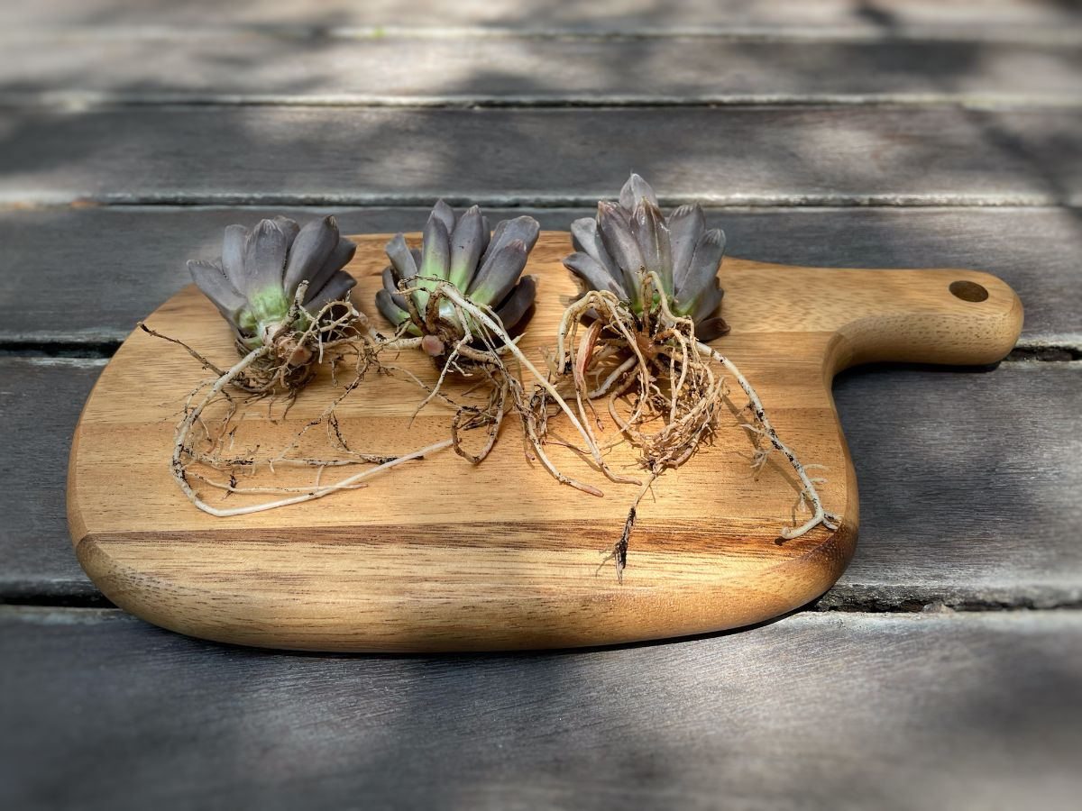 washed and cleaned succulent roots in a wooden chopping board outdoors