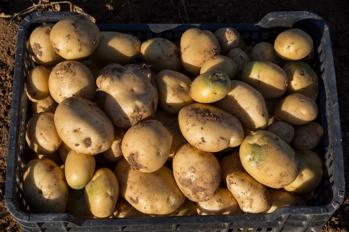 freshly harvested potatoes with dirt in box in the garden under the sun