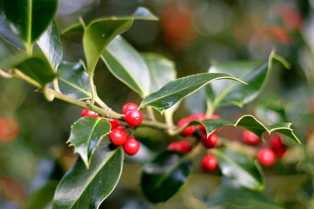 branch of Blue holly, an evergreen shrub with blue green leaves and red berries in the garden