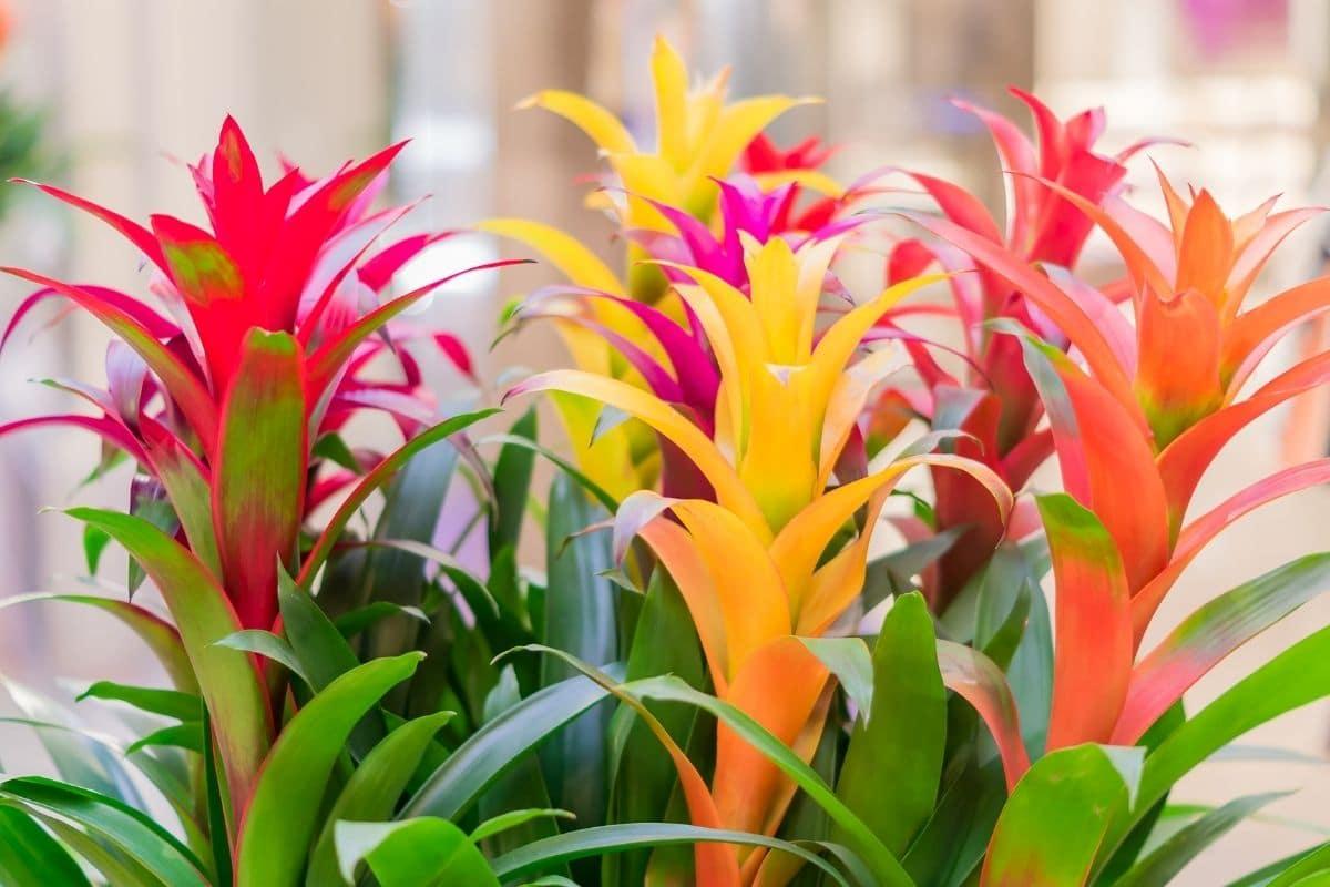 colorful bromeliad plant indoors
