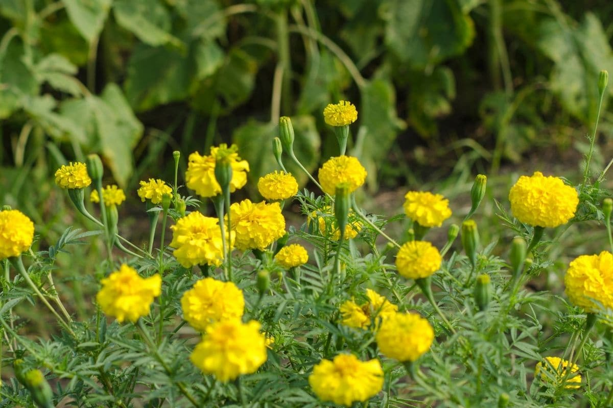 Yellow marigold blooming in the garden along with the vegetables