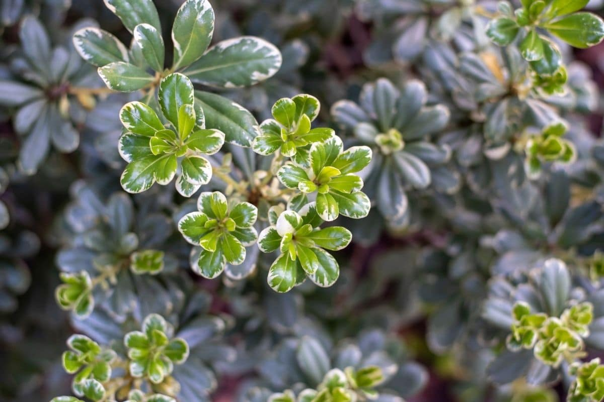 a group of Variegated elephant bush also called a rainbow bush growing in the garden