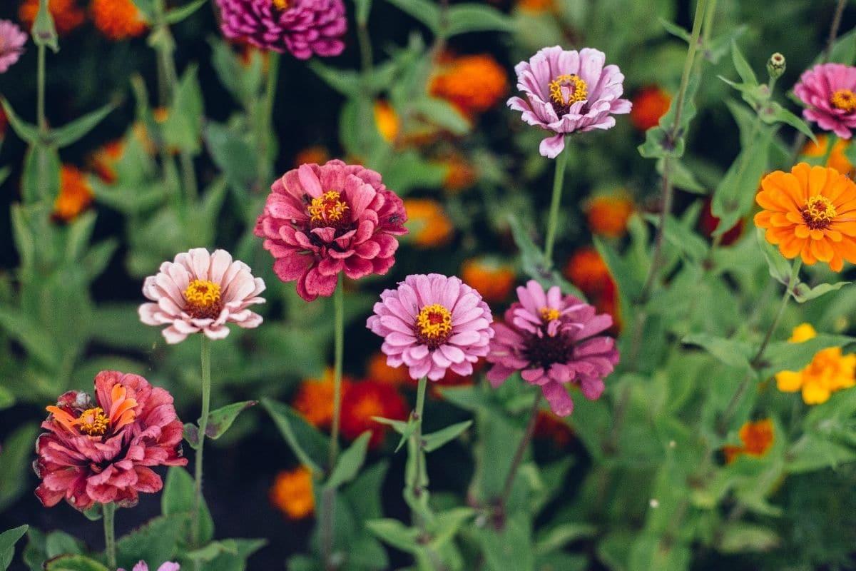 zinnia flowers in the flower garden