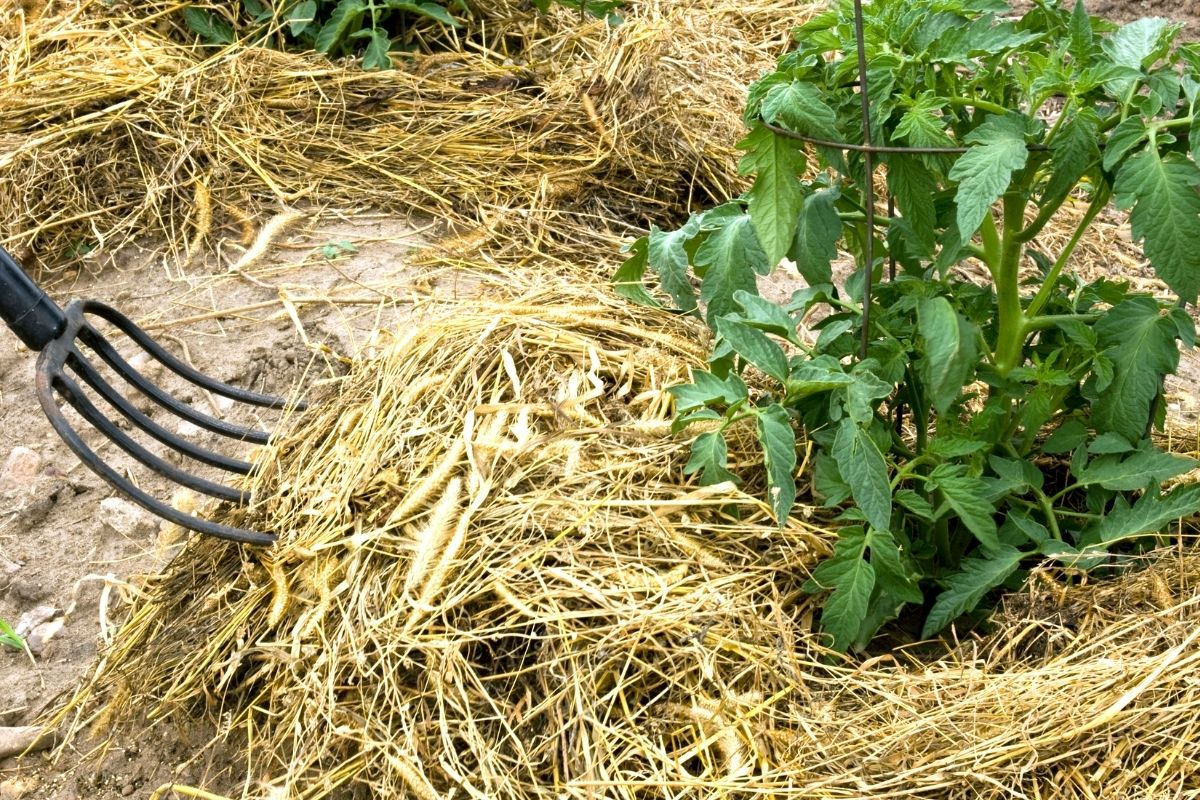 covering the tomatoes with mulch from straws using a hay fork