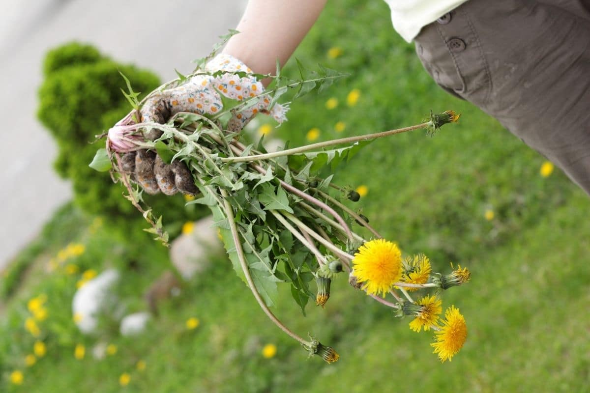 pulled out dandelions from the garden