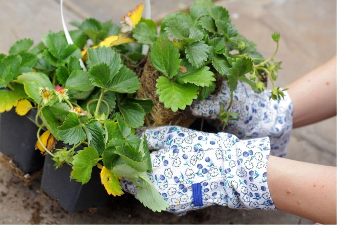 carefully removing the seedling from the container to plant in the garden