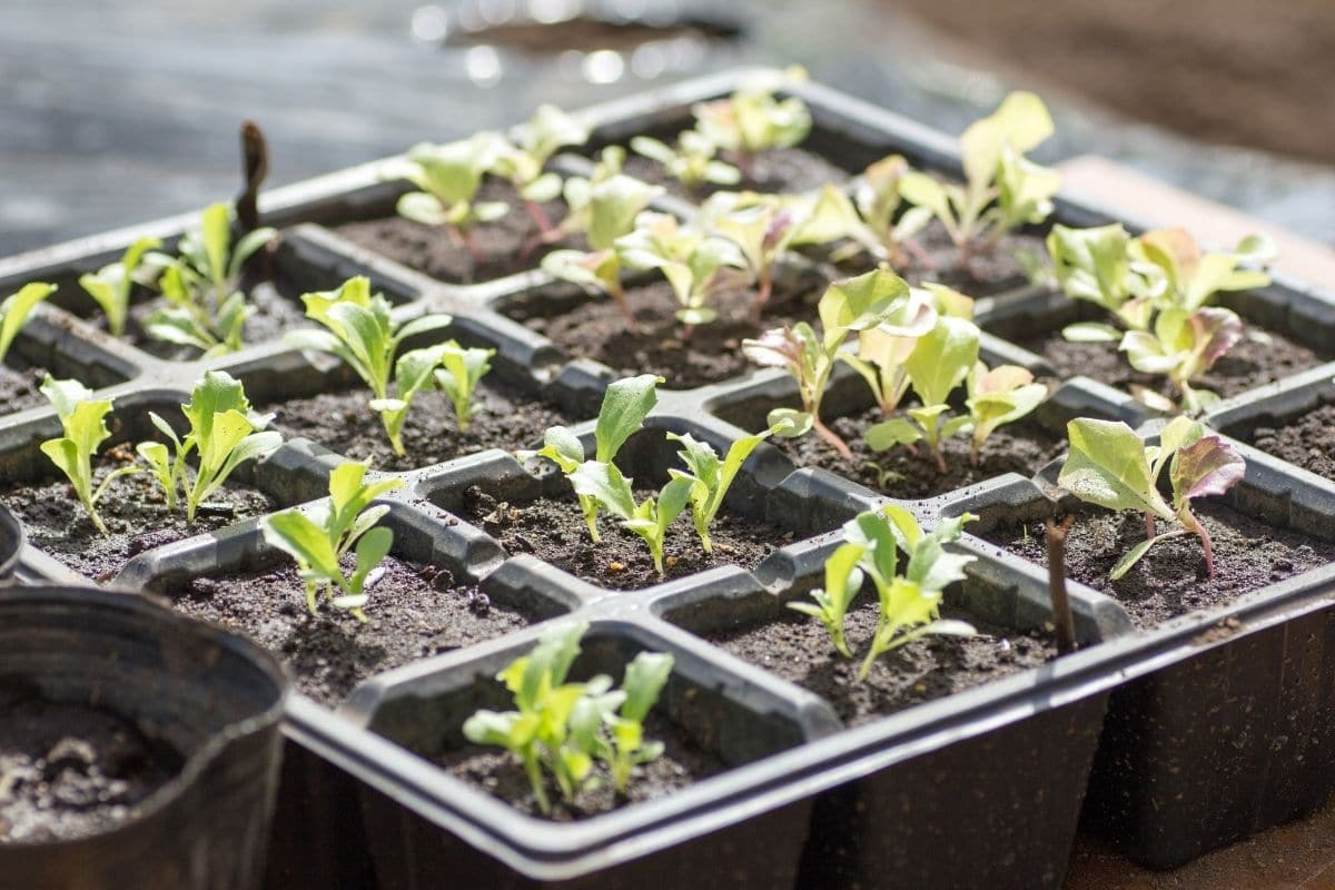 growing lettuce seedlings in a container indoors