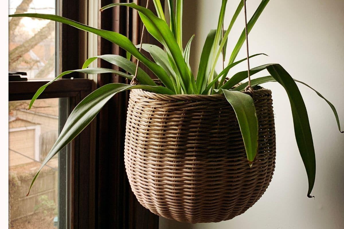 plant in a vintage hanging basket