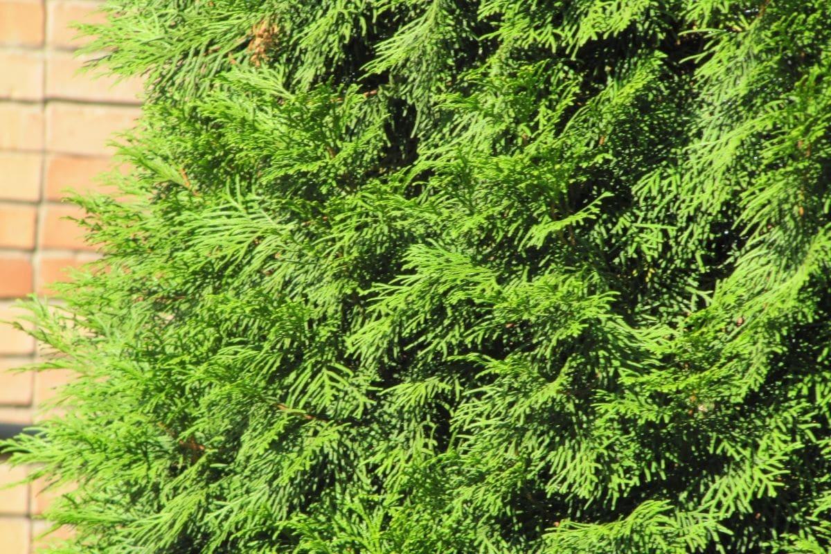 Arborvitae evergreen tall tree in the garden