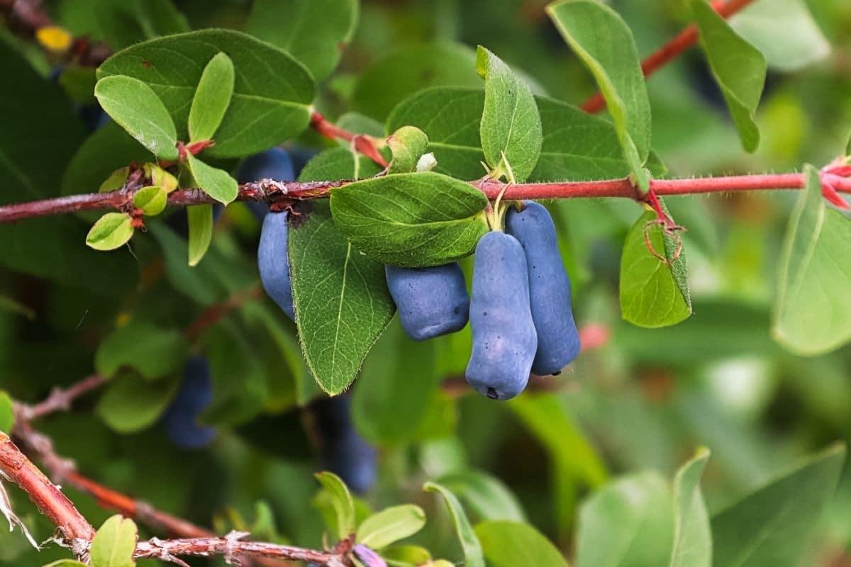 purple honeyberries hanging from its branch in the garden