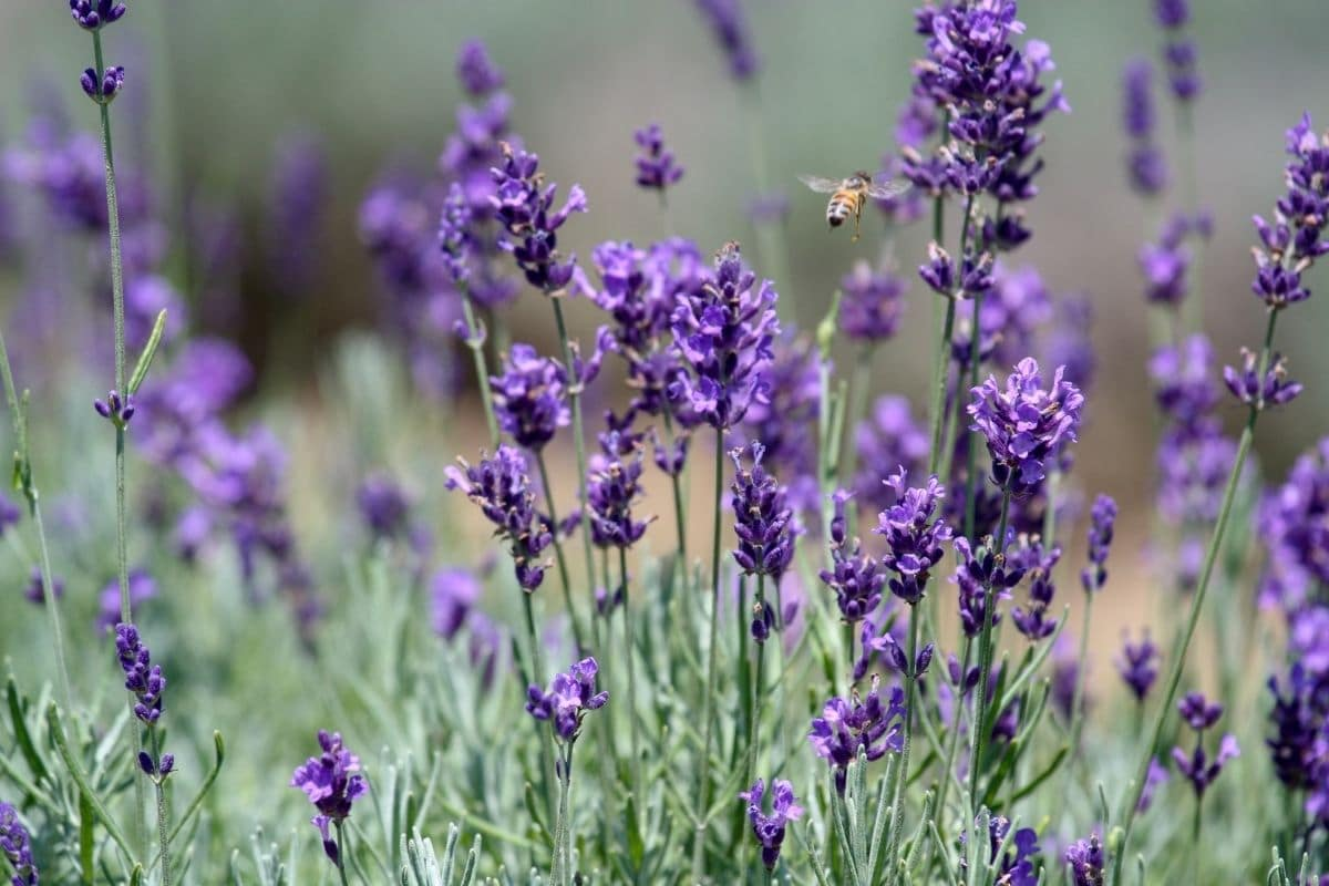 a bee flying towards the field of lavenders
